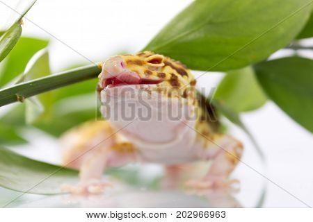 Orange Leopard Gecko Walking And Looking Forward In Green Leaves
