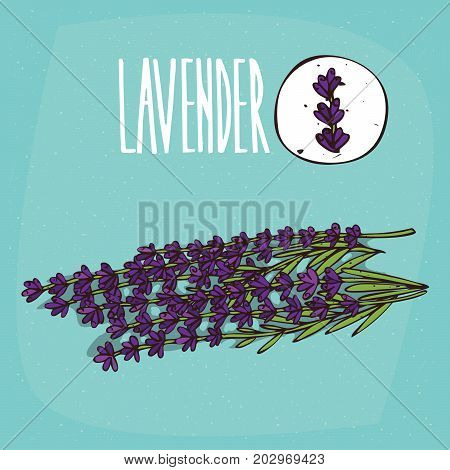 Set of isolated plant Lavender flowers herb with leaves Simple round icon of Lavandula on white background Lettering inscription Lavender