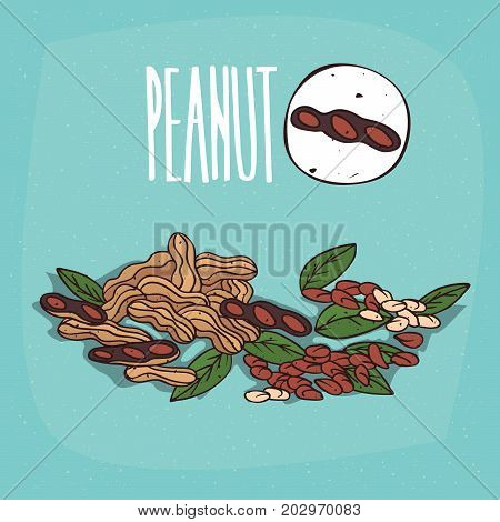 Set of isolated plant Peanut nuts herb with leaves Simple round icon of Peanuts on white background Lettering inscription Peanut
