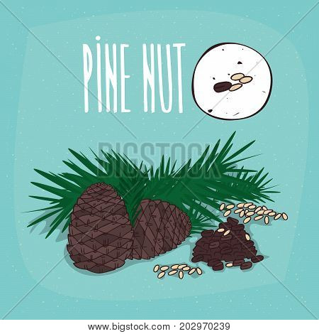 Set of isolated plant Pine nut seeds herb with leaves nuts Simple round icon of Pine on white background Lettering inscription Pine nut