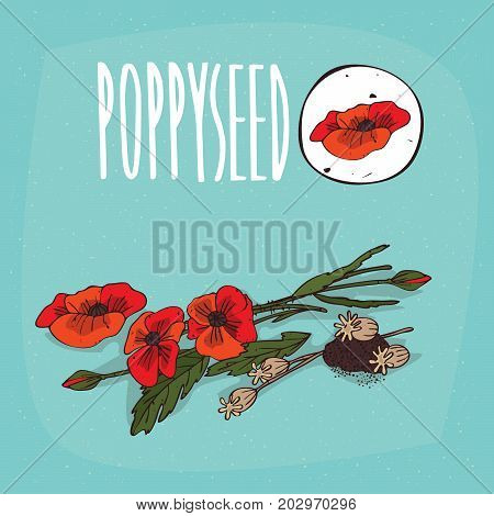 Set of isolated plant Poppyseed flowers herb with leaves seeds Simple round icon of Poppy flowers and seeds on white background Lettering inscription Poppyseed