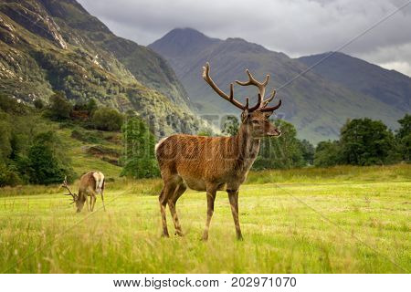 Two scottish Red Deers on green meadow with mountains in background Glenfinnan Scotland