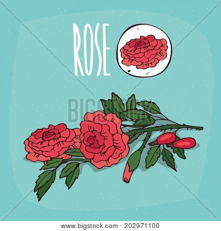 Set of isolated plant Rose flowers herb with leaves Simple round icon of Rosaceae on white background Lettering inscription Rose