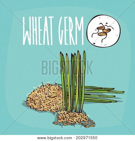 Set of isolated plant Wheat germ grains herb with cereals Simple round icon of Cereal germs on white background Lettering inscription Wheat germ