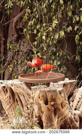 Pink Scarlet Ibis Eudocimus Ruber