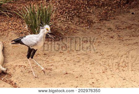 Secretarybird Sagittarius serpentarius is a large bird from Africa that stomps on sneaks and then eats them.