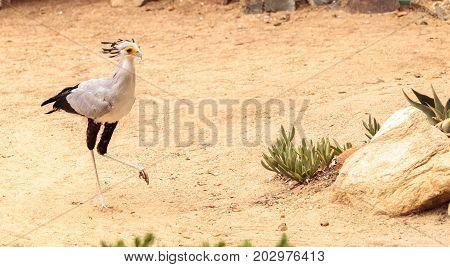 Secretarybird Sagittarius Serpentarius