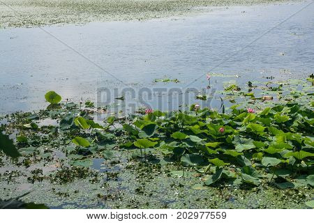 Part of lake which overgrown by lotos flowers. Wild lotos in nature environment.