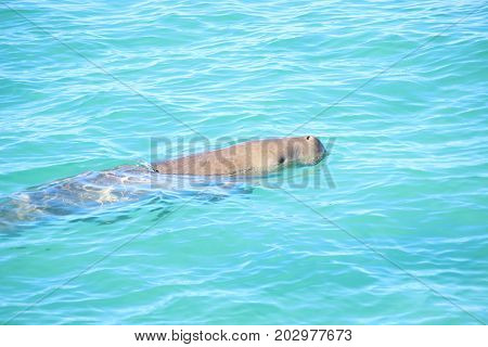 Dugong, also known as a sea cow, Ningaloo Reef
