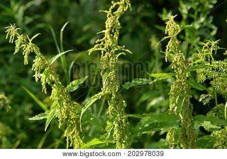 Nettle plant close up on blurred background.