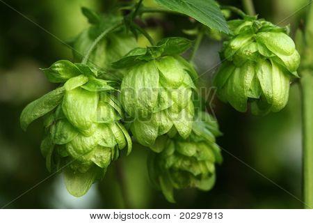 Plant hops close-up
