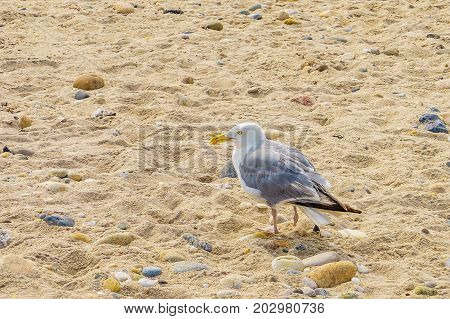 Sea gull with a damaged paw on the Orient beach, Long Island NY, US