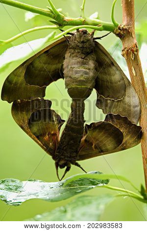 The Front View Of A Pair Of Poplar Sphinx Moths Mating