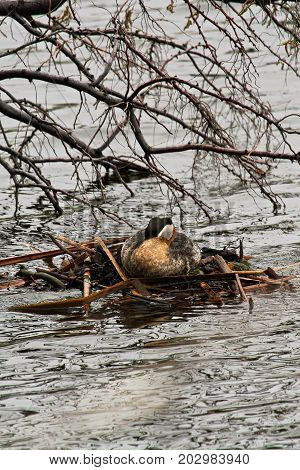 A Female Red Necked Grebe Waiting Patiently On Her Nest