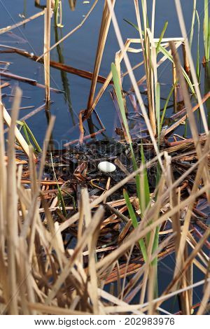 A Single Egg In A Red Necked Grebe Nest As Parents Leave To Feed