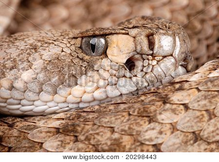 Very close head shot of a Western Diamondback Rattlesnake (Crotalus atrox). poster