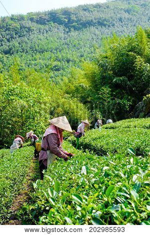 Asia culture concept image - Farmers pick up fresh organic tea bud & leaves in plantation the famous Oolong tea area in Ali mountain Taiwan