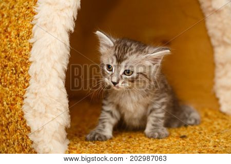 The cute little kitty has just woken up. Pets. Hypoallergenic breed of cats