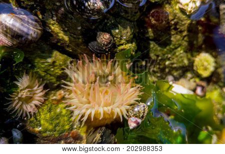 Small sea anemones in tidal pool on Vancouver Island, British Columbia.