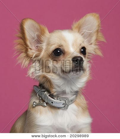 Close-up of Chihuahua in front of pink background poster