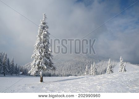 Christmas landscape with fir tree in the snow. Carpathians, Ukraine, Europe