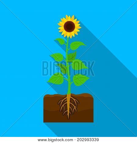 Sunflower, single icon in flat style.Sunflower vector symbol stock illustration .