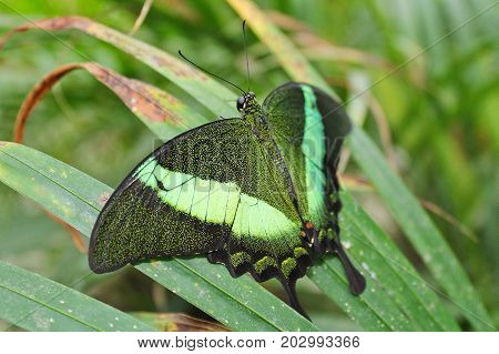 Big Green Butterfly Emerald Swallowtail From Side, Papilio Palinurus