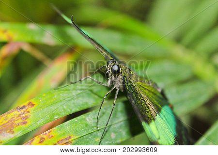 Big Green Butterfly Emerald Swallowtail, Photo To Eyes, Papilio Palinurus