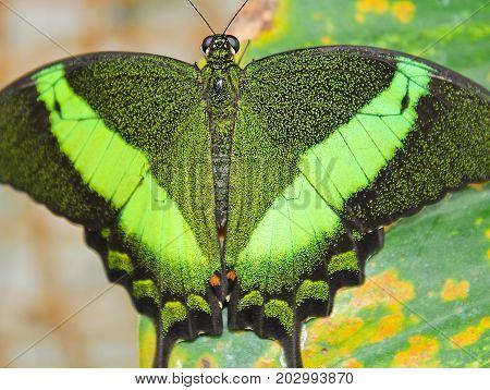 Big Green Butterfly Emerald Swallowtail, Close Up Photo To Wings, Papilio Palinurus