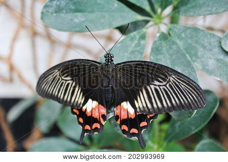 Big Black And Red Butterfly On Green Leaf, Photo To Wings
