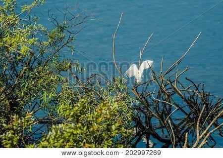 Small White Egret Landing On Branch Of Drift Wood Over Blue Water.