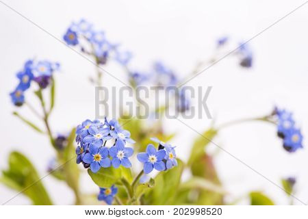 Blue Forget-me-not flowers in front of white background
