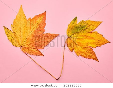 Fall Fashion Design. Autumn Art Gallery. Minimal. Fall Leaves Background. Yellow Maple Leaves Couple. Trendy fashion Stylish Concept on Yellow. Autumn Vintage