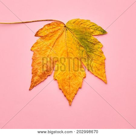 Autumn Arrives. Art Gallery. Minimal. Yellow Fall Leaves Background. Pink Maple Leaves. Fall Fashion Design. Vintage on Pink