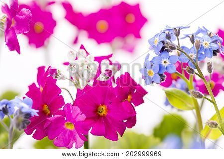 Blue Forget-me-not flowers and close up pink Primula flowers