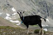 a single black goat high up in the swiss alps poster