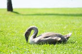 young swan on a lawn poster