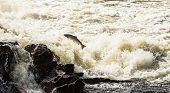 Atlantic Salmon, Salmo salar, leaping in turbulent waterfalls in Boenfossen in Kristiansand, Norway poster