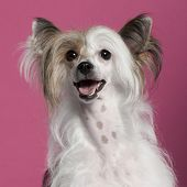 Close-up of Chinese Crested Dog in front of pink background poster