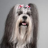 Close-up of Lhasa Apso wearing hairbows, 2 years old, in front of grey background poster