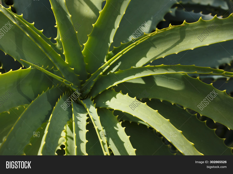 Aloe Vera Plant Image Photo Free Trial Bigstock