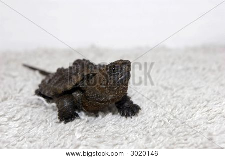 Common Snapping Turtle Hatchling