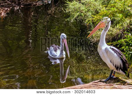 Australian park. Two large waterfowl Australian pelicans with a pink beak swim in a shallow pond. Pelicans are looking for fresh fish. Ecotourism concept poster