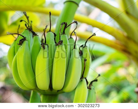 A Bunch Of Green Bananas, Banana Plantation, Macro
