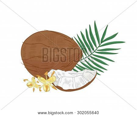 Detailed Botanical Drawing Of Coconut, Palm Tree Foliage And Blooming Flowers Isolated On White Back