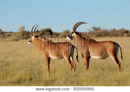 A pair of rare roan antelopes (Hippotragus equinus) in natural habitat, South Africa