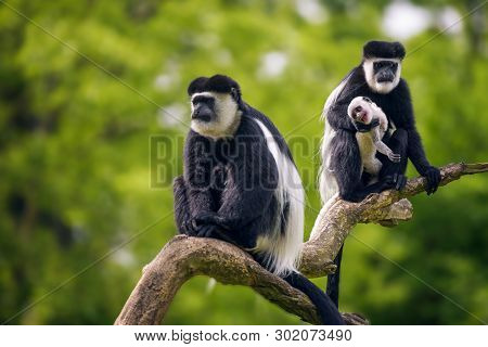 Mantled Guereza, Also Named Colobus Guereza, Posing On A Limb With Its Baby.