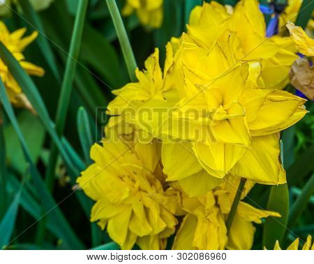 Narcissus Golden Ducat, Double Daffodil A Popular Hybrid Specie In Horticulture, Decorative Garden P