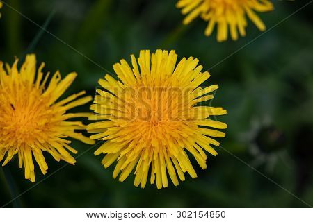 Flora Flowers Yellow Field Garden Dandelions Natural Perennial Weed