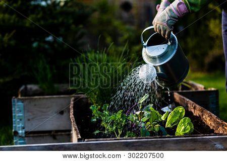 Backyard outdoor gardener hands planting lettuce in vegetable garden.
